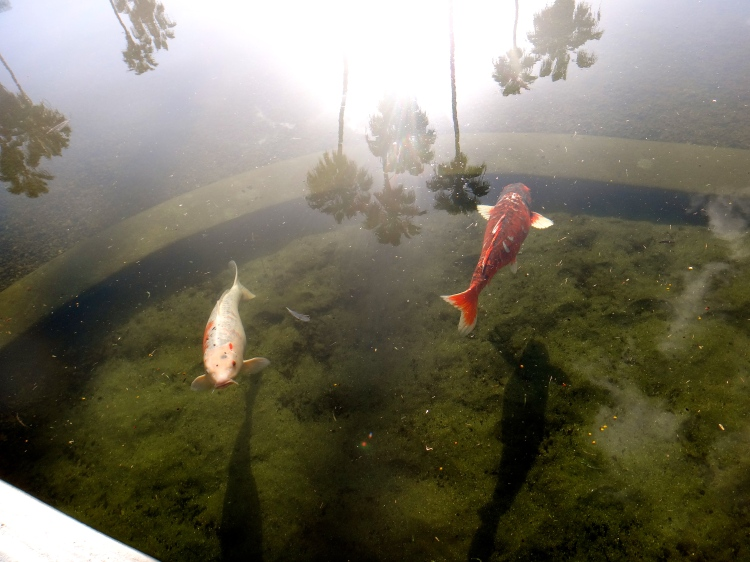 Fishes in Balboa Park Pond